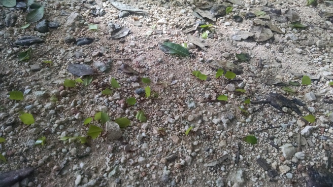 A troop of leafcutter ants intersecting our path.