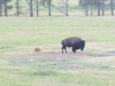 A calf skirting around one of the large bulls of the herd.